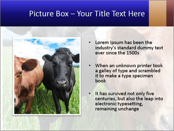 Two cows in the field PowerPoint Template - Slide 13