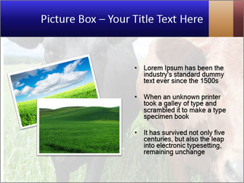 Two cows in the field PowerPoint Template - Slide 20