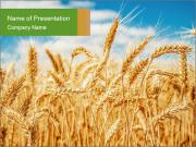 Gold wheat PowerPoint Templates