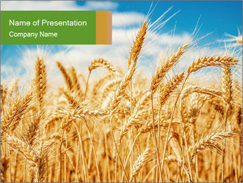 Gold wheat PowerPoint Templates - Slide 1