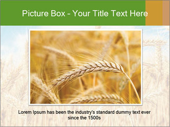 Gold wheat PowerPoint Templates - Slide 15