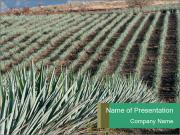 Agave field in Tequila PowerPoint Templates