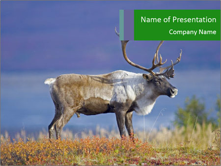 Male Caribou Grazing PowerPoint Templates