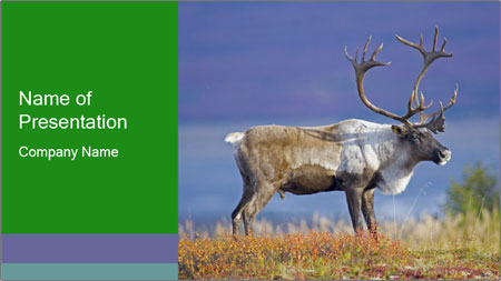 Male Caribou Grazing PowerPoint Template