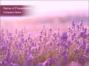 Lavender flowers PowerPoint Templates