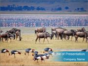 Wildbeest migration PowerPoint Templates
