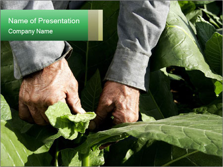 Worker picking tobacco leaves PowerPoint Templates
