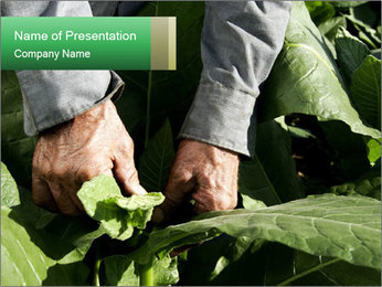 Worker picking tobacco leaves PowerPoint Templates - Slide 1