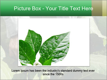 Worker picking tobacco leaves PowerPoint Templates - Slide 15