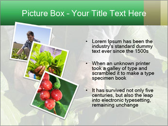 Worker picking tobacco leaves PowerPoint Templates - Slide 17