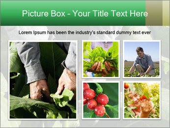 Worker picking tobacco leaves PowerPoint Templates - Slide 19