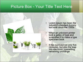 Worker picking tobacco leaves PowerPoint Templates - Slide 20