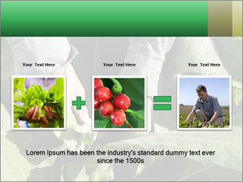 Worker picking tobacco leaves PowerPoint Templates - Slide 22