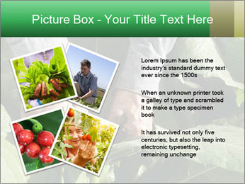 Worker picking tobacco leaves PowerPoint Templates - Slide 23