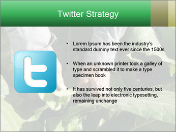 Worker picking tobacco leaves PowerPoint Templates - Slide 9
