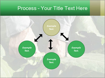 Worker picking tobacco leaves PowerPoint Templates - Slide 91
