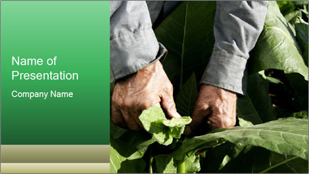 Worker picking tobacco leaves PowerPoint Template