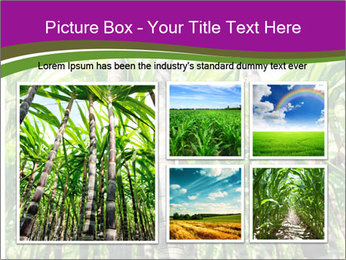 Sugarcane plants PowerPoint Template - Slide 19