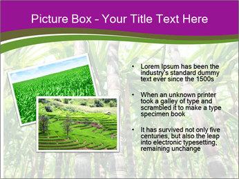 Sugarcane plants PowerPoint Template - Slide 20