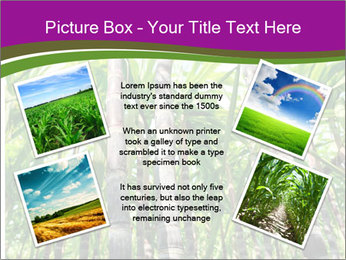 Sugarcane plants PowerPoint Template - Slide 24