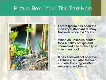 Japanese knotweed PowerPoint Templates - Slide 13