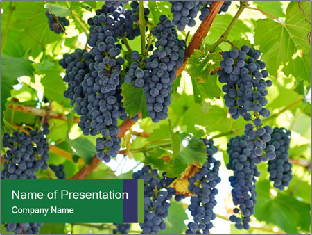 Ripening grape PowerPoint Templates