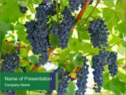 Ripening grape PowerPoint Templates