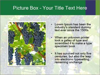 Ripening grape PowerPoint Template - Slide 13