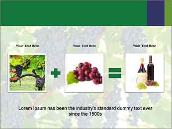 Ripening grape PowerPoint Template - Slide 22