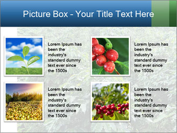 Coffee plant PowerPoint Template - Slide 14