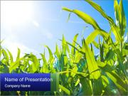 Green corn PowerPoint Templates