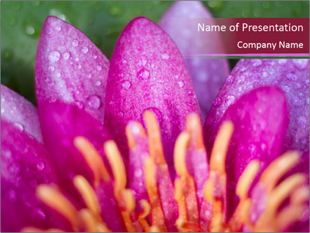 Pink water lily PowerPoint Templates
