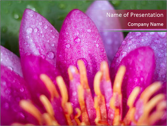 Pink water lily PowerPoint Templates - Slide 1