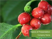 Coffee cherries Modèles des présentations  PowerPoint