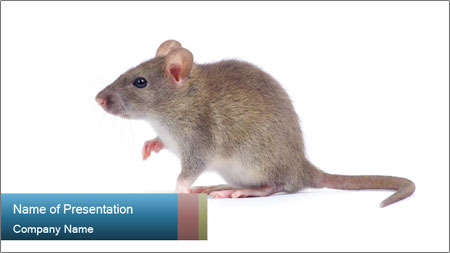 Rat PowerPoint Template - Slide 1