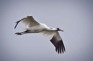 Whooping Crane in flight in Texas.
