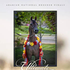 Ultimate Eden BSA at the Arabian Breeders Finals