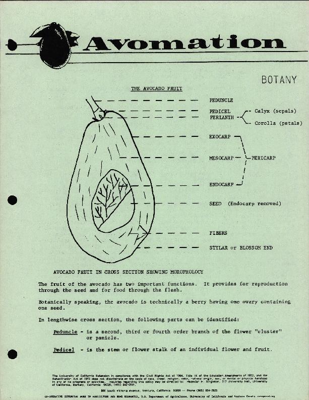 Avomation - The Avocado Fruit