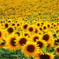littlesunflower