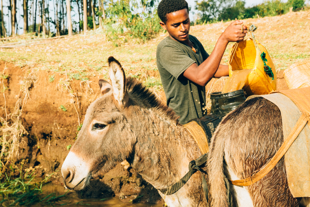 Man filling a water bucket on a donkey