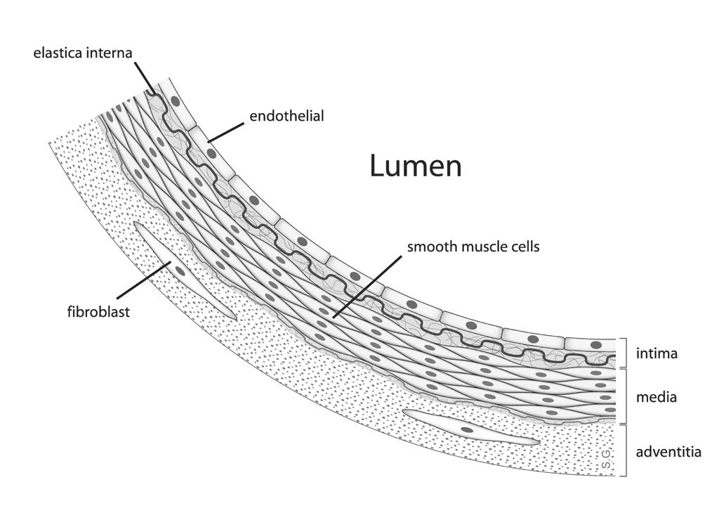 lumen  anatomy