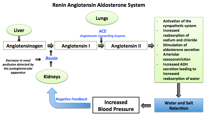 Long term regulation of blood pressure: the renin angiotensin aldosterone system