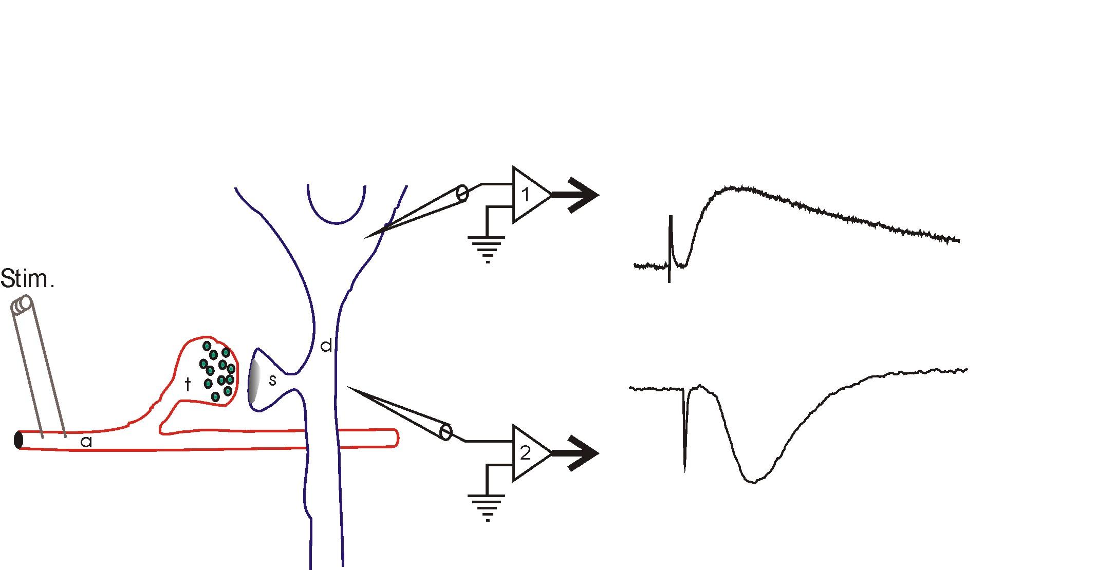 electrophysiology