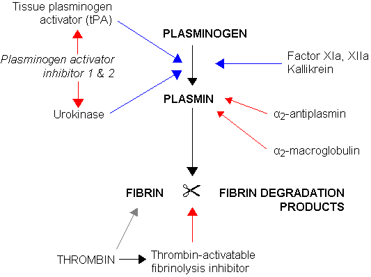 Fibrinolysis (simplified). Blue arrows denote stimulation, and red arrows inhibition.