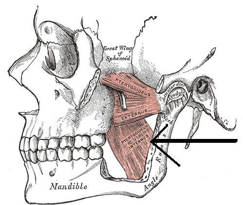 lateral pterygoid cadaver - photo #33