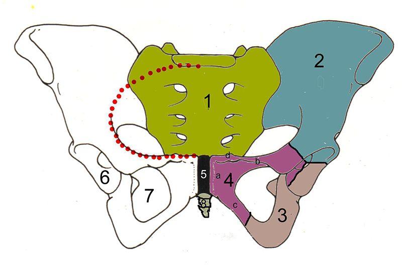 Arcuate line (ilium) - wikidoc