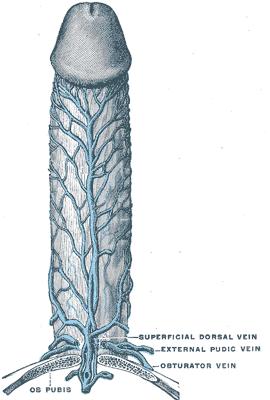 Deep dorsal vein of penis