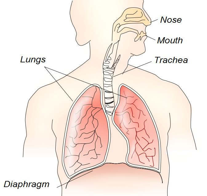 The Diaphragm And The Respiratory System Blank Diagram Block And