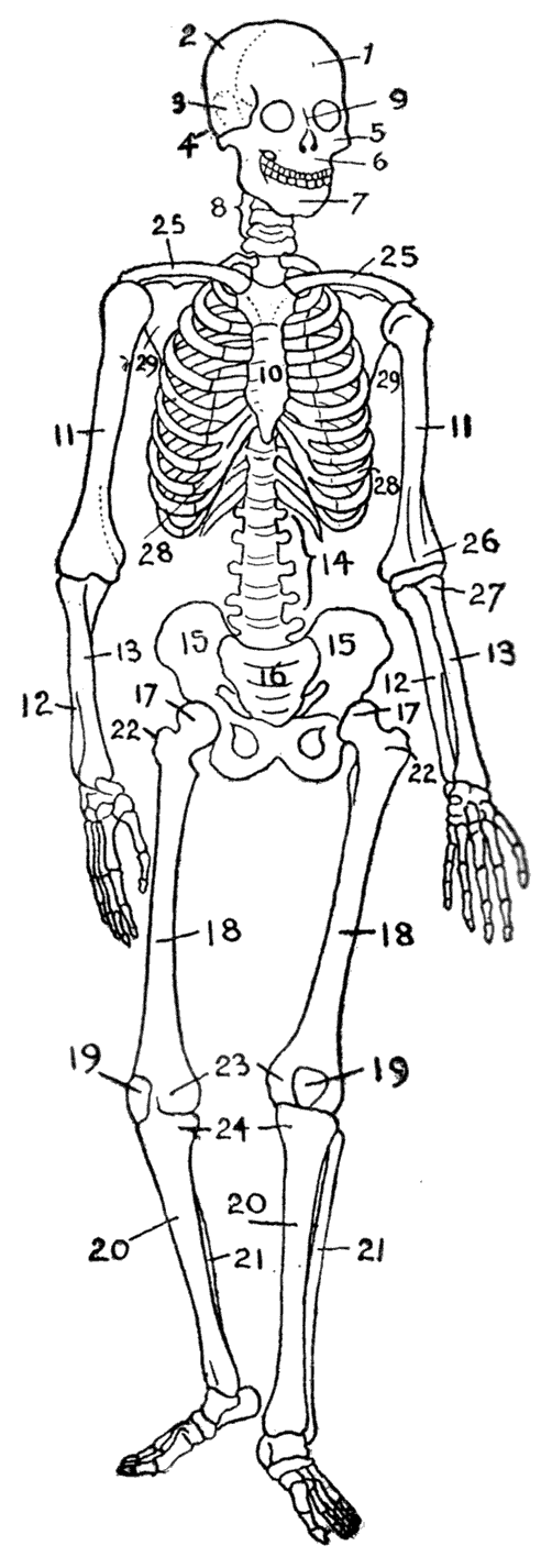 list of bones of the human skeleton