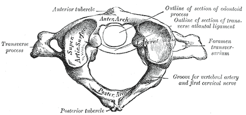 Foramen Transversarium